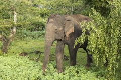Éléphant sauvage en parc national de Yala, Sri Lanka Images libres de droits