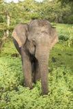 Éléphant sauvage en parc national de Yala, Sri Lanka Photographie stock