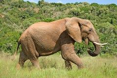 Éléphant sauvage mangeant l'herbe Images libres de droits