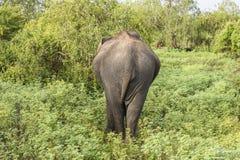 Éléphant sauvage par derrière en parc national de Yala, Sri Lanka Image stock