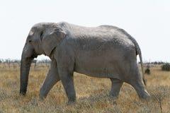Éléphant se réveillant avec le tronc vers le bas par la terre de buisson Photos stock