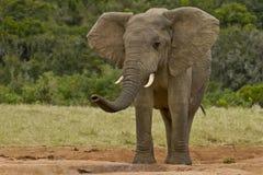 Éléphant sentant l'air Photo stock