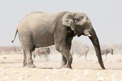 Éléphant seul à un point d'eau avec des zèbres à l'arrière-plan Images libres de droits