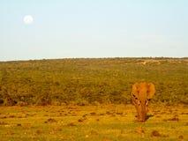 Éléphant solitaire au coucher du soleil avec la lune se levant dans Addo Elephant Pa images stock