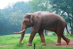 Éléphant sur la pelouse Photo stock