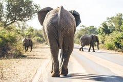Éléphant sur la route Image stock