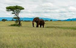 Éléphant sur la savane avec un arbre image stock