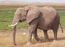 Éléphant sur le masai Mara Photo libre de droits