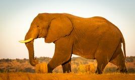 Éléphant sur le safari images libres de droits