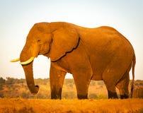 Éléphant sur le safari image stock