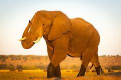 Éléphant sur le safari photos libres de droits