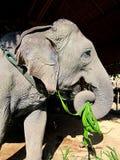 Éléphant thaï Image libre de droits