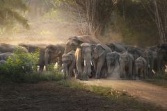Éléphant thaïlandais dans sauvage images libres de droits