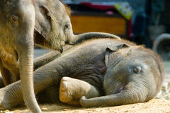 Éléphant thaïlandais de veau dormant, Thaïlande Photos libres de droits