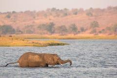 Éléphant traversant la rivière images libres de droits
