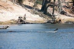 Éléphant traversant un fleuve photos libres de droits