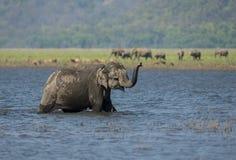 Éléphant wlaking dans la mare Image libre de droits