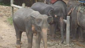 Éléphants à l'orphelinat d'éléphant de Pinnawala dans Sri Lanka banque de vidéos