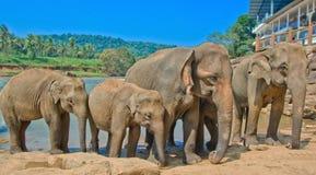 Éléphants à l'orphelinat d'éléphant de Pinnawala, Sri Lanka Images stock