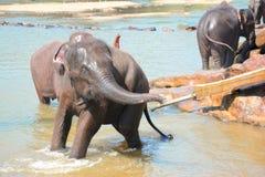 Éléphants à l'orphelinat d'éléphant de Pinnawala, Sri Lanka Images libres de droits