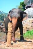 Éléphants à l'orphelinat d'éléphant de Pinnawala, Sri Lanka Photo libre de droits