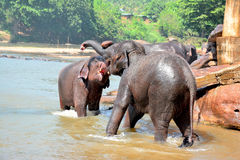 Éléphants à l'orphelinat d'éléphant de Pinnawala, Sri Lanka Photos libres de droits