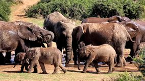 Éléphants éclaboussant à un trou d'eau Photo stock