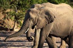 Éléphants évasifs de désert de Namibien Photos stock