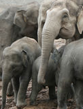 Éléphants Photo stock