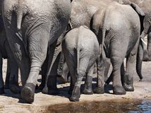 Éléphants Photo libre de droits