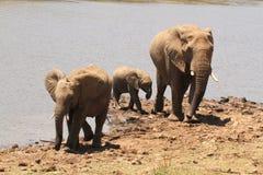 éléphants Photos libres de droits