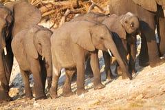 Éléphants africains photo stock