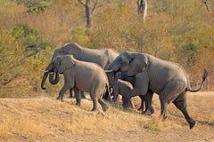 Éléphants africains Image libre de droits