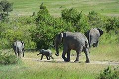 Éléphants africains Images libres de droits