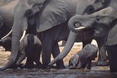 Éléphants africains Photographie stock libre de droits