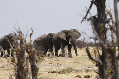 Éléphants africains Photographie stock