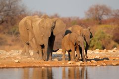 Éléphants au point d'eau, Etosha Image stock