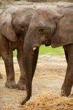 Éléphants africains au-dessus de saleté d'argile Photo libre de droits