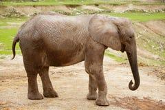 Éléphants africains au-dessus de saleté d'argile Photos stock