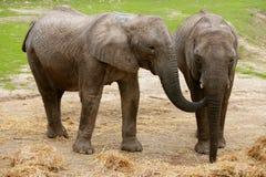Éléphants africains au-dessus de saleté d'argile Photos libres de droits