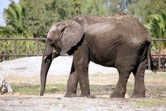 Éléphants africains au-dessus de saleté d'argile Photographie stock