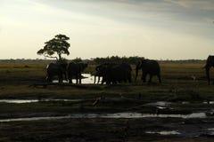 Éléphants africains buvant sur les plaines Image libre de droits