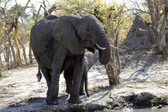 Éléphants africains buvant sur les plaines Photos stock