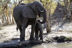 Éléphants africains buvant sur les plaines Photos libres de droits