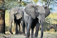 Éléphants africains dans le sauvage image stock
