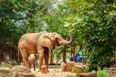 Éléphants africains dans le zoo Image stock