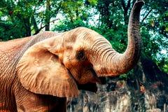 Éléphants africains dans le zoo Photo libre de droits