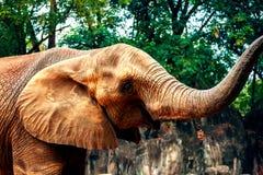 Éléphants africains dans le zoo Image libre de droits