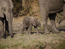 Éléphants africains de Bush Photos stock
