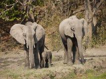 Éléphants africains de Bush Photo libre de droits